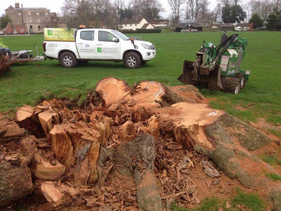 Before stump removal